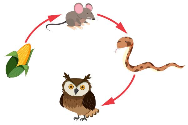 A cadeia alimentar inicia-se com um produtor e finaliza-se com o decompositor, que nem sempre é representado.