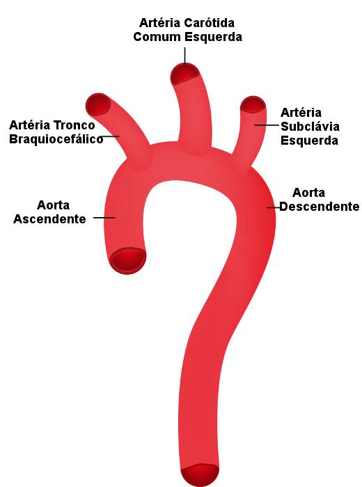 Observe as porções da aorta no esquema.