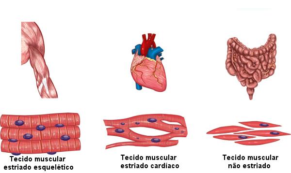 Observe os três tipos de tecido muscular existentes.