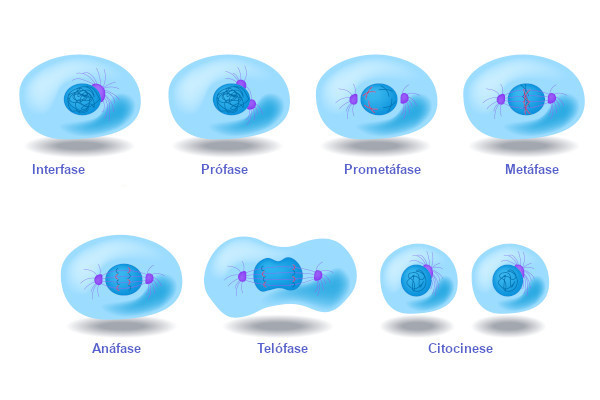 A mitose é o processo que leva à formação de duas células-filhas. A interfase precede e sucede a mitose.