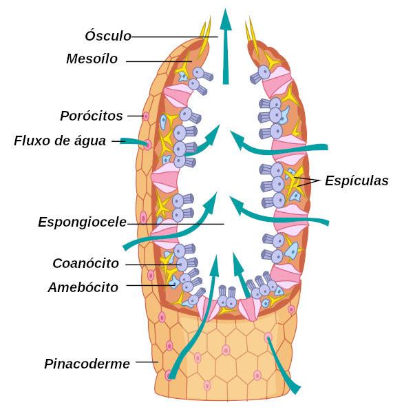 Observe acima as principais estruturas do corpo de uma esponja.