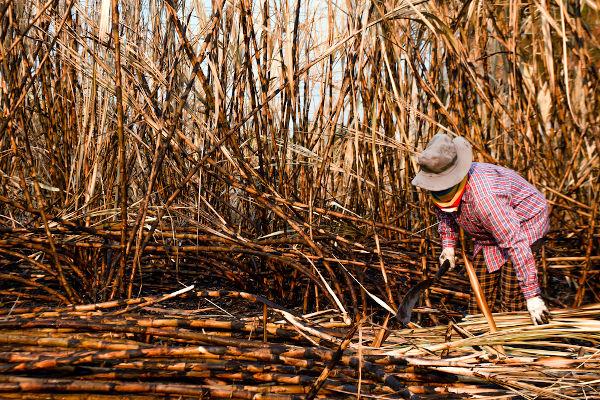 Por muitos anos, o cultivo da cana era a principal atividade econômica no Brasil.