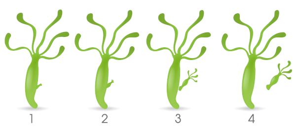Observe as etapas da reprodução por brotamento.