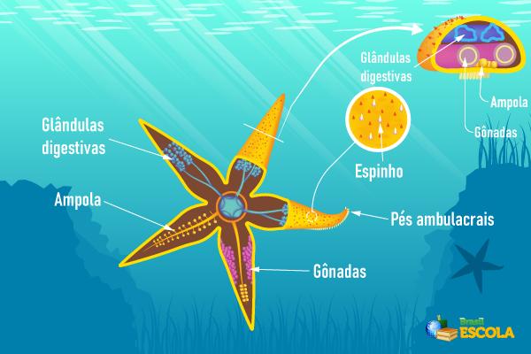 No desenho é possível observar algumas das principais estruturas de uma estrela-do-mar.