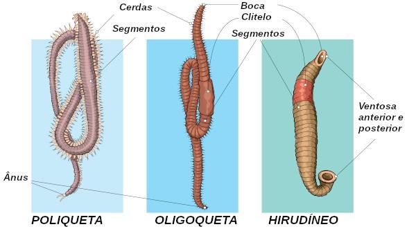 Observe algumas características presentes nos diferentes grupos de anelídeos.