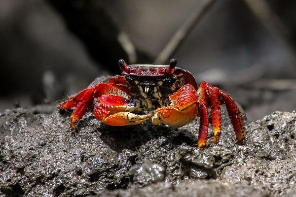 O caranguejo, crustáceo que reside nos manguezais, tornou-se um dos símbolos do mangue beat.