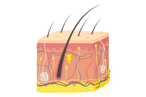 O sistema tegumentar é formado pela pele e seus anexos (unhas, pelos e glândulas).