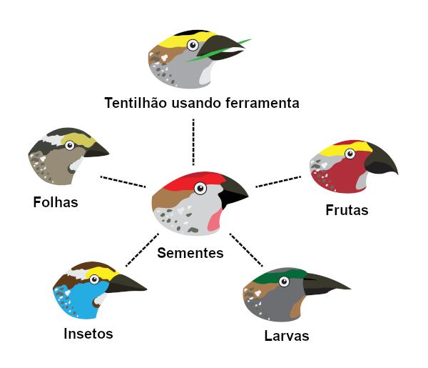 Os tentilhões apresentam diferentes bicos, os quais têm formato adaptado a sua dieta.