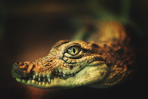 Os crocodilianos são animais com uma mandíbula extremamente forte.