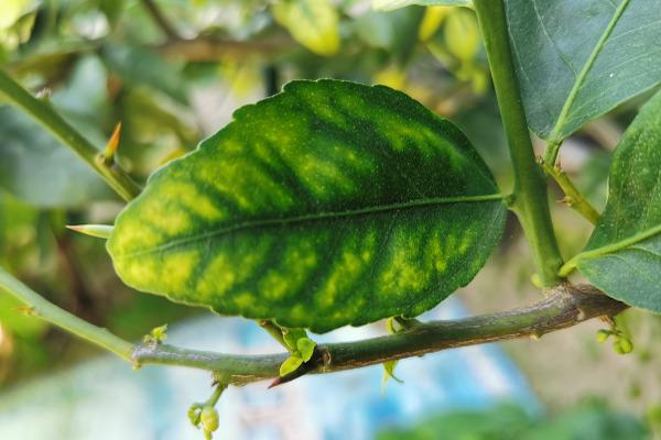 A deficiência nutricional em plantas pode ser observada facilmente nas folhas, por exemplo.