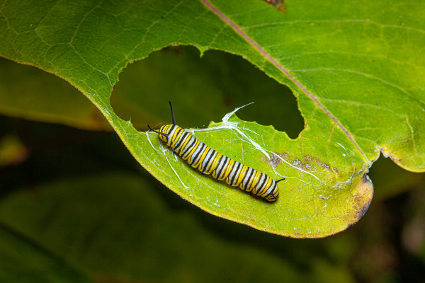 A lagarta apresenta um aparelho bucal adaptado para que ela corte as folhas.
