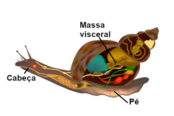 Observe na figura os vários órgãos internos localizados na região da massa visceral.