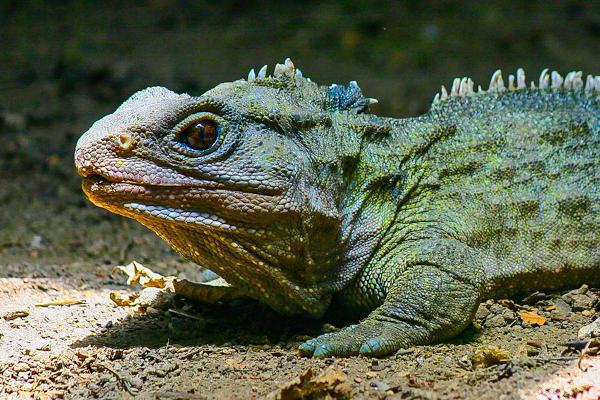 A tuatara é o único representante de Rhynchocephalia.