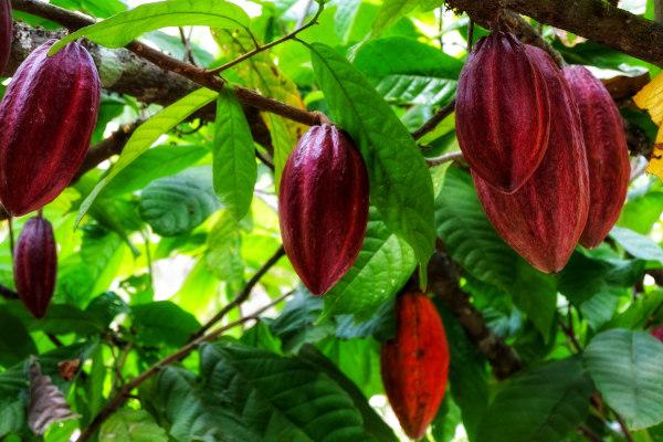 O fruto do cacaueiro é o cacau. Ele apresenta cores variadas, a depender da fase de maturação e variedade.