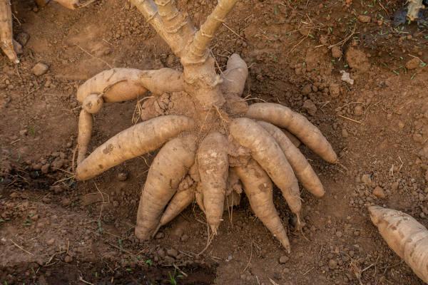 A mandioca é uma raiz tuberosa rica em amido.