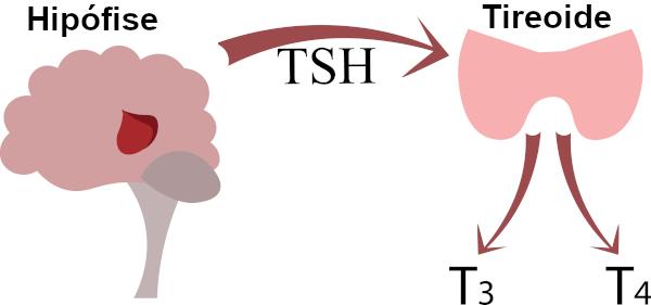 O TSH estimula a liberação dos hormônios tireoidianos T3 e T4.