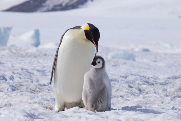 O pinguim-imperador se destaca como a maior espécie de pinguim.