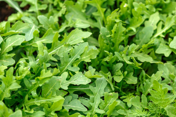 A rúcula é uma hortaliça folhosa que apresenta sabor picante.