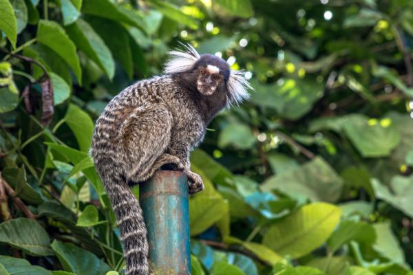 O sangui-de-tufo-branco é um macaco de pequeno porte que se destaca pelos pelos brancos em sua orelha.