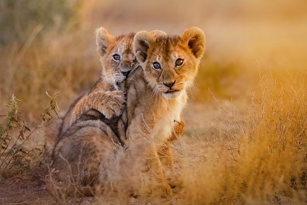 Filhotes de leão podem ser mortos por machos que invadem o grupo.