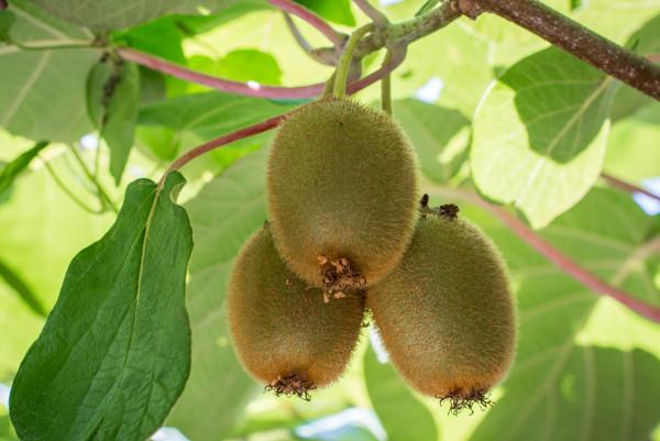 O kiwizeiro é uma planta originária da China, mas o nome kiwi foi dado na Nova Zelândia.