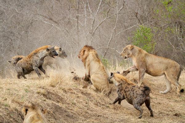Leões podem roubar o alimento de outros animais.