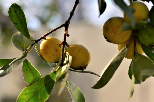 Dá-se o nome de araçá às diferentes espécies do gênero Psidium.