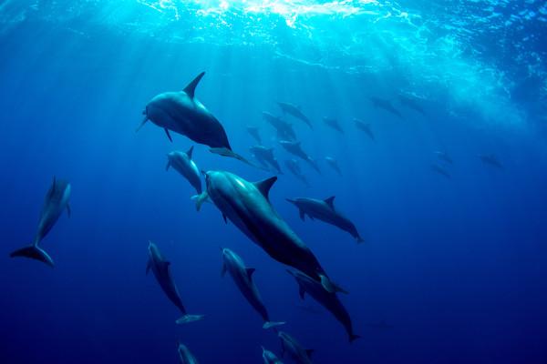 Foto de golfinhos nadando no oceano Índico.