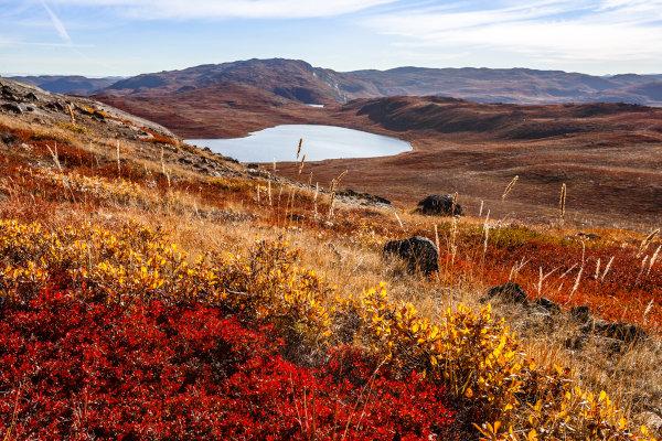 As arbustivas e a vegetação rasteira definem a paisagem da Tundra.