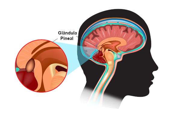 A glândula pineal é uma pequena estrutura responsável pela síntese de melatonina.