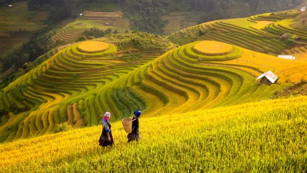 Terraços onde se cultiva arroz no Vietnã.