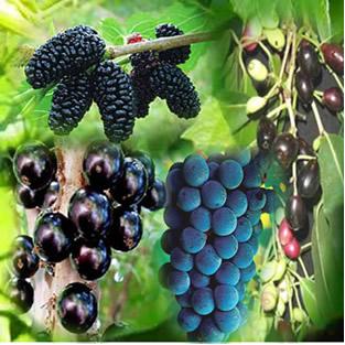 Amora, jabuticaba, jambolão e uva são frutas que podem ser usadas como indicadores ácido-base