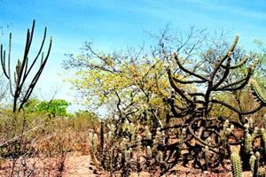 Caatinga - Vegetação de clima semiárido