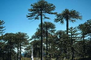 Floresta Subtropical - Ocorre em regiões de clima subtropical