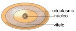 A segmentação do ovo centrolécito é meroblástica e superficial