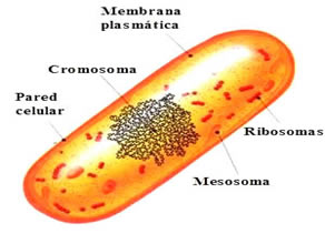 A composição básica de uma célula procarionte