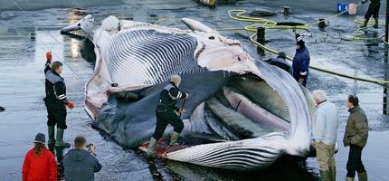 Baleia abatida para fins comerciais