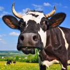 Vaca comendo capim