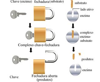 Esquema de funcionamento das enzimas baseado no modelo chave-fechadura