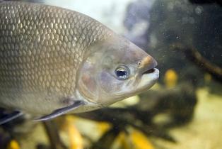 Os peixes ósseos apresentam, entre outras características, a presença de opérculo
