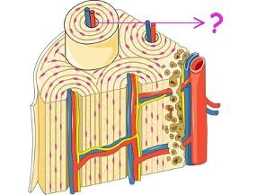 Observe os canais por onde passam os capilares sanguíneos