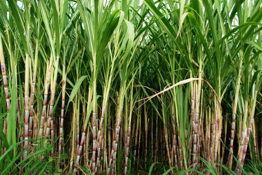 A cana-de-açúcar é a matéria-prima da produção do polietileno verde