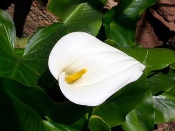 Muito usada ornamentalmente, essa planta apresenta alta toxicidade