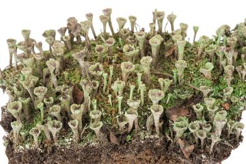 O líquen do gênero Cladonia é um exemplo de talo dimórfico