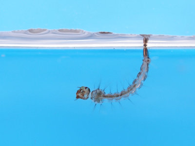 A larva do Aedes aegypti representa uma fase aquática do ciclo de vida