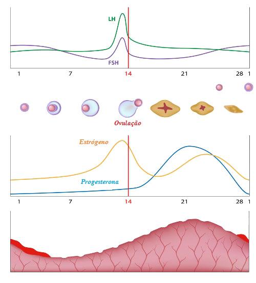 Observe o esquema simplificado do ciclo menstrual