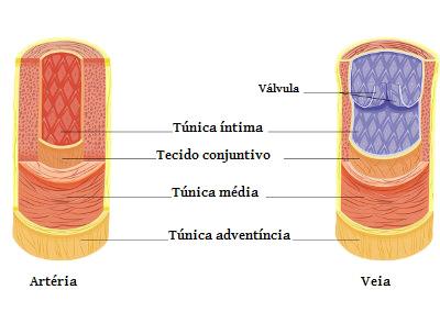Observe a espessura da túnica média da artéria e da veia
