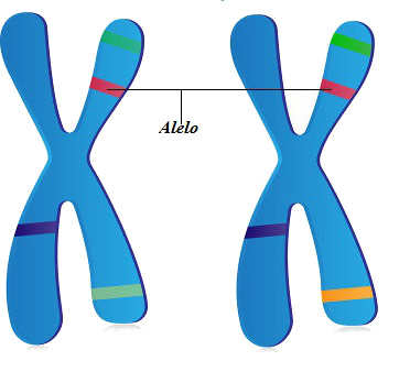 Os alelos são genes que ocupam o mesmo locus em cromossomos homólogos