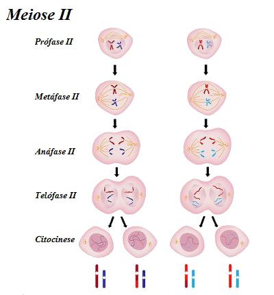 Observe as etapas da segunda parte da meiose