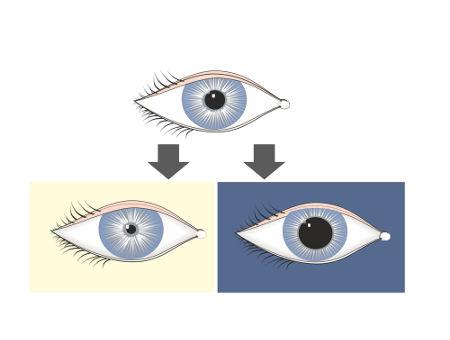 A pupila dilata-se na ausência de luz e contrai-se com o estímulo luminoso